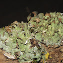 Shield Lichen