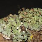 Shield Lichen