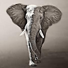 Desert Elephant by Pieter J de Villiers - Black & White Animals