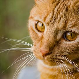 Sweet Bella by Jim Davis - Animals - Cats Portraits ( cat, pet, portrait, animal )
