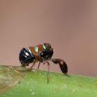 Caliscelidae/Hemiptera
