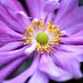 Anemone  by Tina Collins - Flowers Single Flower ( macro, close up, anemone, yellow, purple, stamen, flower )