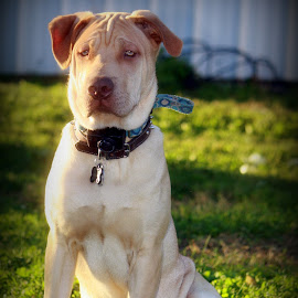 Bastian by Shanna Schwentner - Animals - Dogs Portraits ( shar pei, sharpei, furbaby, puppy, dog, mutt,  )