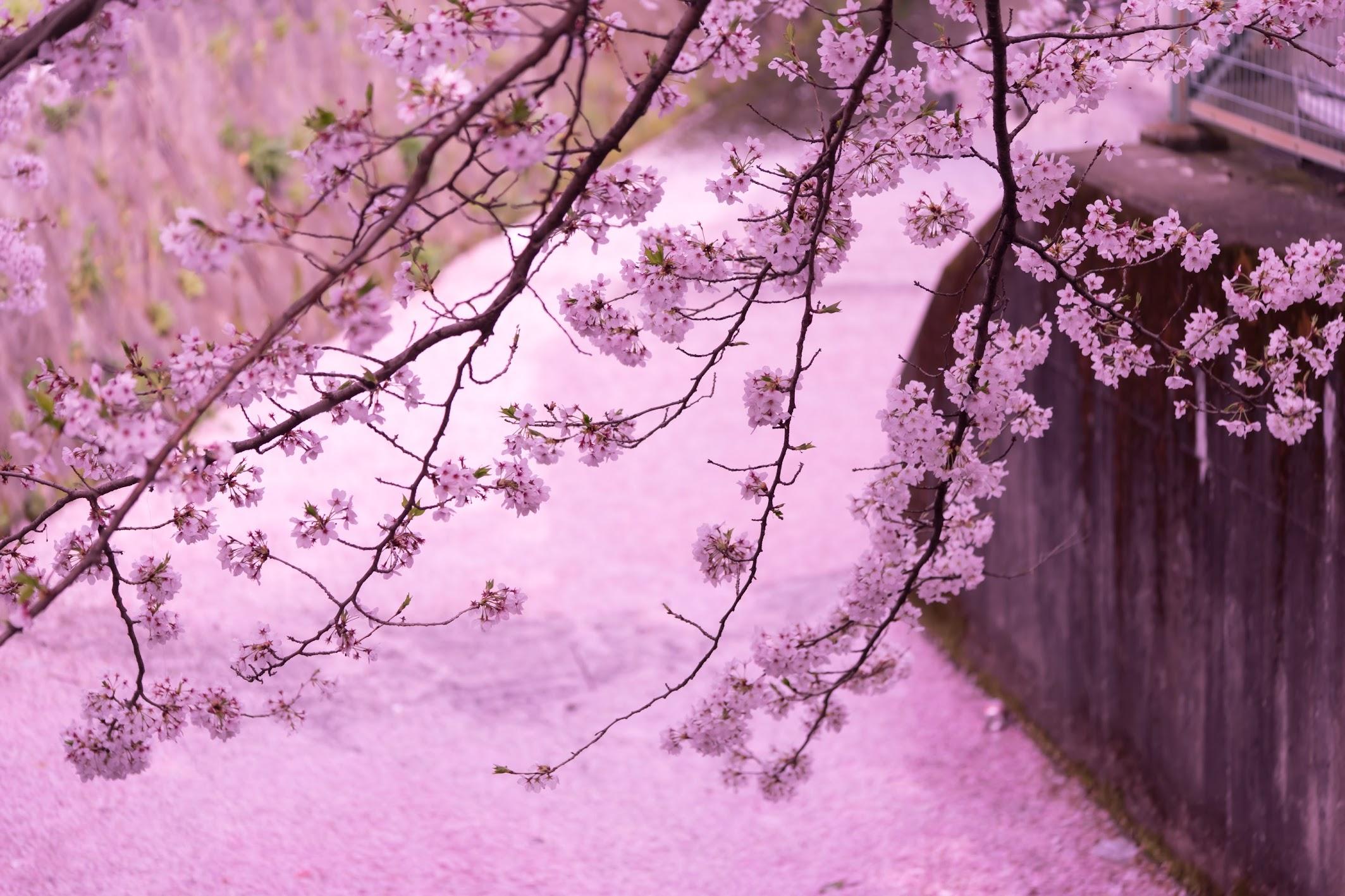 Kyoto Philosopher's Path cherry blossoms carpet2