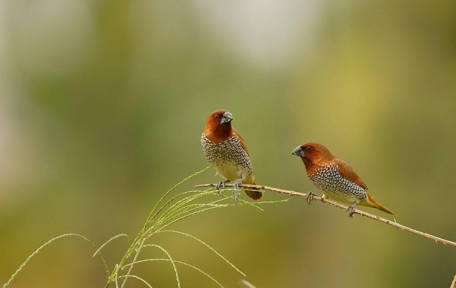 Munia by Jayaprakash Bojan - Animals Birds ( bird, wild, nature, munia, green, birds )