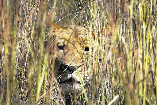 STALKING: A lioness at Lionsrock sanctuary in Bethlehem, Free State. South Africa is home to more than 3000 lions. In much of the rest of Africa lion numbers have plummeted
