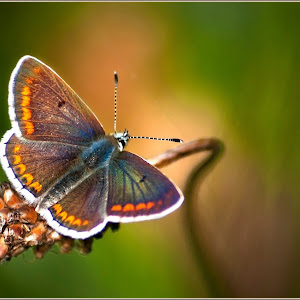 Northern Brown Argus ButterflyB.jpg