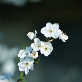 Tree Blossom by Vasil Karagyuliev - Uncategorized All Uncategorized ( tree, bluish, tree blossom, branch, flowers, blossom )