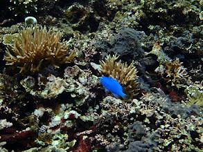 Photo: Chrysiptera cyanea (Blue Devil Damselfish), Small Lagoon, Miniloc Island, Palawan, Philippines.