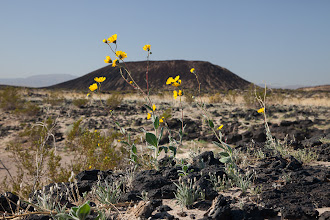 Photo: Desert sunflowers and a volcanic cinder cone in the Mojave Desert.