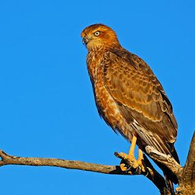 Eagle by Bostjan Pulko - Animals Birds ( bird, eagle )
