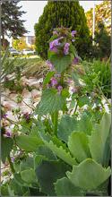 """Photo: Urzica moarta (Lamium purpureum) - """"..este printre cele mai căutate flori de către albine, în special datorită catității mari de polen pe care o produc în perioada aprilie-mai..."""" din Piata 1 Decembrie 1918, spatiu verde - 2019.04.20 info https://ierburiuitate.wordpress.com/2014/03/06/pizda-tigancii/"""