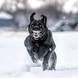 Black lab or Meth lab? by Joel Jones - Animals - Dogs Running ( labrador, black labrador, devil, black lab, dog )
