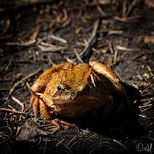 Photo: Common frog Rana temporaria  #FroggieFriday