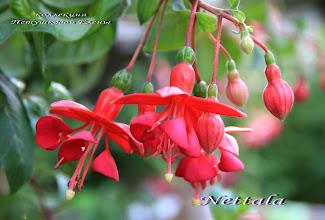 Photo: Nettala