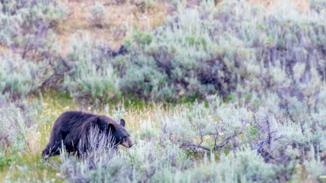A black bear!