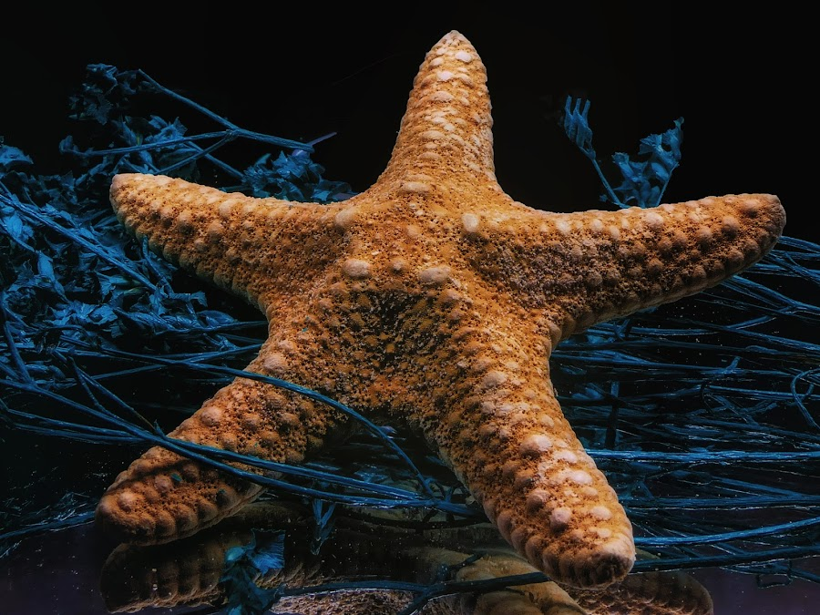 Star Fish Top by Dave Walters - Nature Up Close Other Natural Objects ( sea shell, star fish, nature, colors, artistic,  )