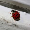 Harlequin Lady Beetle