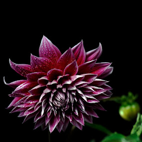 Dahlia with drops by Cristobal Garciaferro Rubio - Digital Art Things ( dalia, flores, button, drop, drops, leaf, leaves, flor, flowers, dahlia, flower )