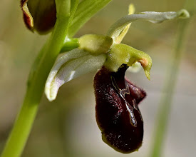 Photo: Ophrys sp.