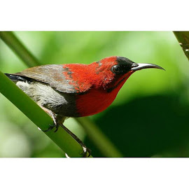 红色的鸟 Red Bird by : NX113-01-2016 by Kklim Lim Zhan Fu - Animals Birds