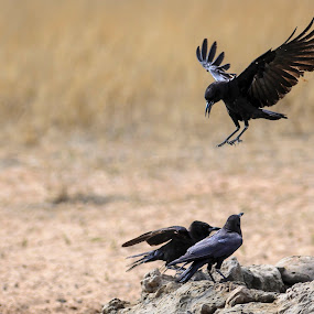 Precision Landing by Arend Van der Walt - Animals Birds ( desert, landing, three, crow, kgalagadi )