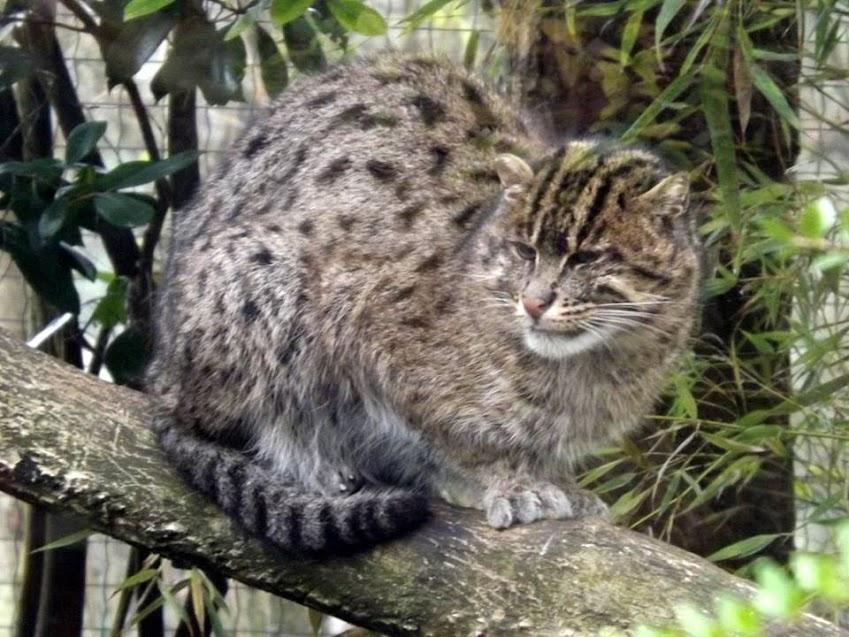 Chat pêcheur, Beauval - Tous droits réservés