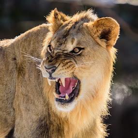 Lion  by John Sinclair - Animals Lions, Tigers & Big Cats ( lion, nature up close, wildlife )