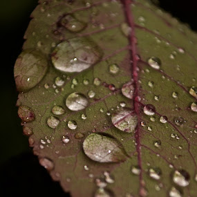 by Megan VanderMeulen - Nature Up Close Flowers - 2011-2013 ( water, rose, red, nature, beauty, flower, rain )