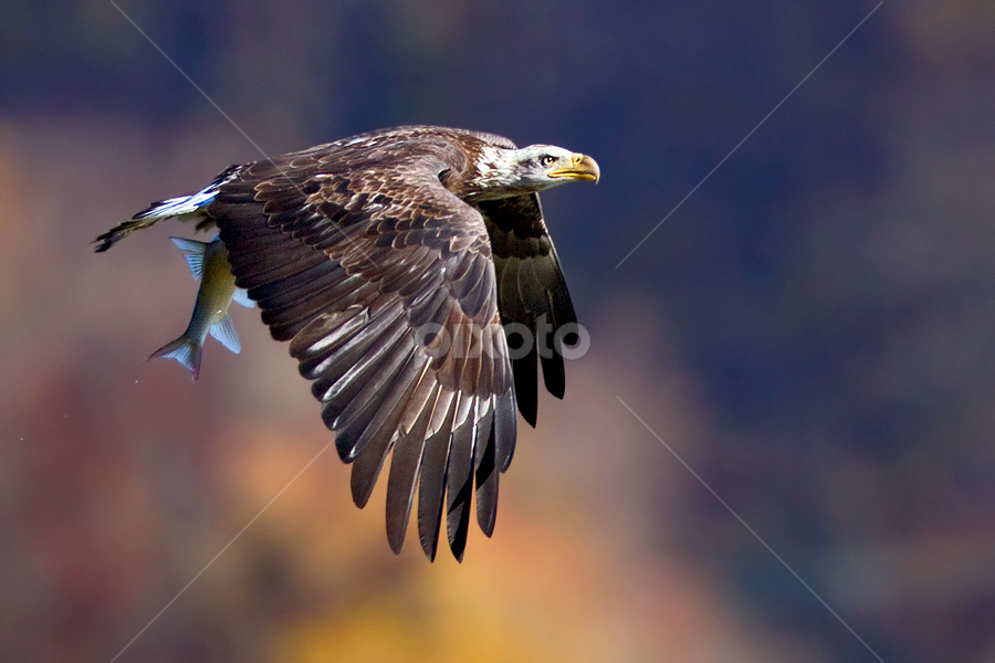 by Herb Houghton - Animals Birds ( wild, eagle, bird of prey, shad, bald eagle, herbhoughton.com, raptor, fishing, natural )
