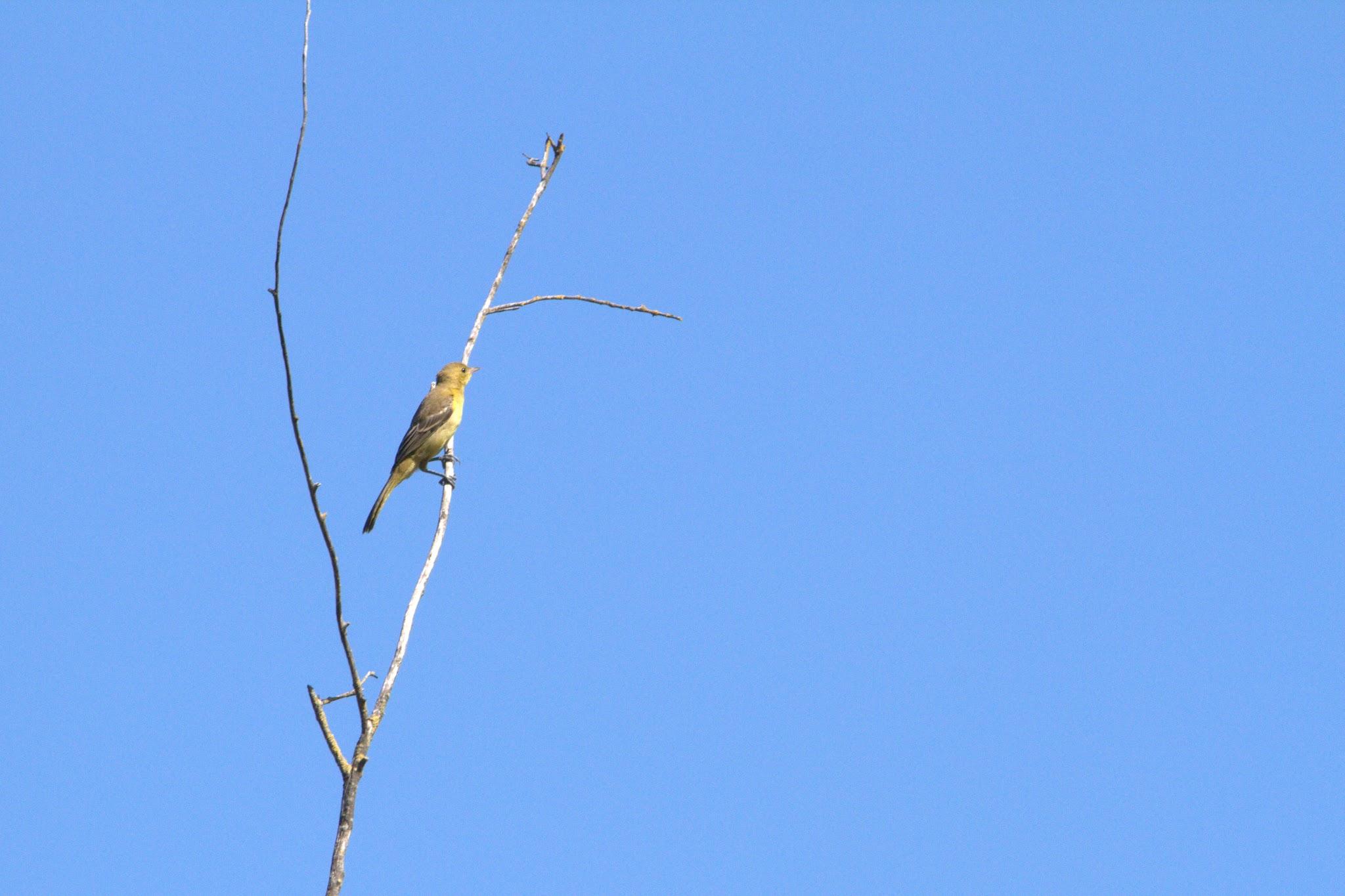 Photo: Common Yellowthroat - female