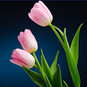 Colorful Tulip Wallpapers icon