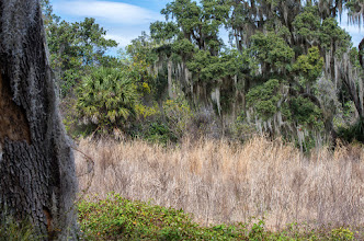 Photo: Spanish moss is everywhere; Lake Woodruff NWR