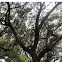 Spanish Moss on a Live Oak Tree