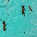 Black-headed Ant