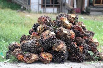 Photo: Indonezija yra didžiausia palmių aliejaus eksportuotoja pasaulyje, pagaminanti virš 20 milijonų tonų aliejaus kiekvienais metais. Netyčia mes buvome nuvežti į vieną milžinišką palmių plantaciją. Štai palmių riešutai/vaisiai.  Indonesia is the biggest palm oil producer in the world making 20 million tons of oil every year. We were lucky to be taken to some enormous palm plantation by a fellow working there. Here are the palm kernels.