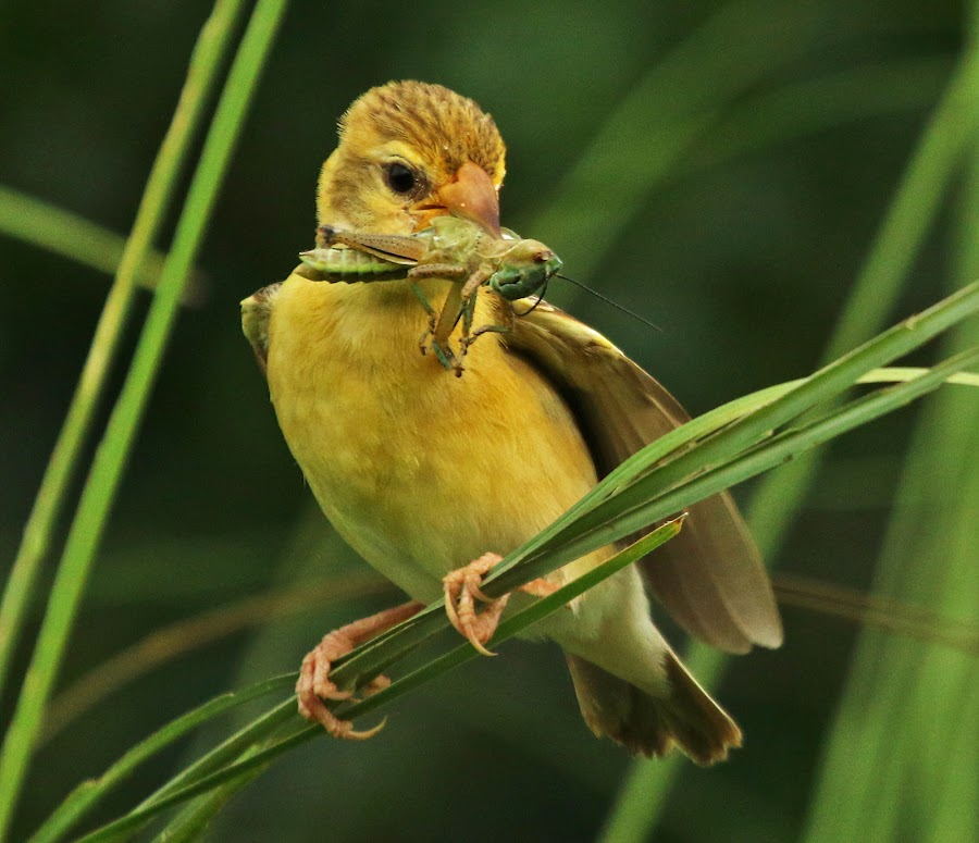 Baya Wever with Insect by Mukesh Chand Garg - Animals Birds (  )