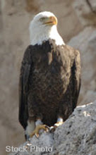 Photo: A close up of one of the pair of breeding bald eagles we observed on the high cliffs as we returned back to the lake. Only spotted them after hearing their unique call from across the canyon.