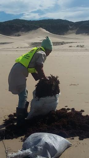 Seaweed harvesters work Maitland