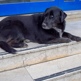 Black street dog resting on the stairs by Ciddi Biri - Animals - Dogs Portraits ( city life, resting, young, friendly, tail, black, canine, portrait, cute, head, domestic, outdoor, beautiful, outdoors, pet shop, puppy, mammal, our friends, animal, dog, pet )