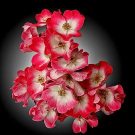 GOR rose 159 16 by Michael Moore - Flowers Flower Arangements