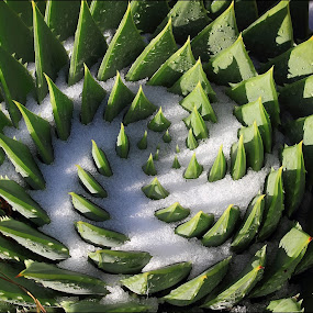 Snow Spiral by Greg Van Dugteren - Nature Up Close Other plants