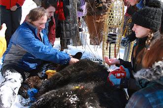 Photo: Tim Ginnett, UWSP professor of wildlife ecology, places a radio collar on a black bear