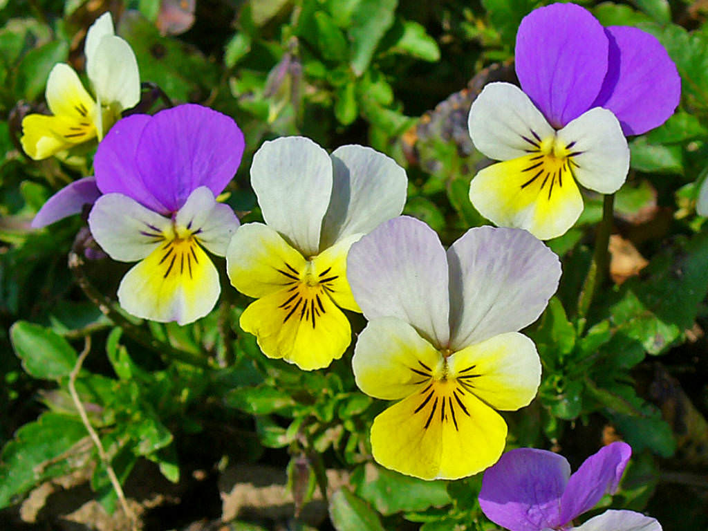 Viola-tricolor-Wild-Pansy3