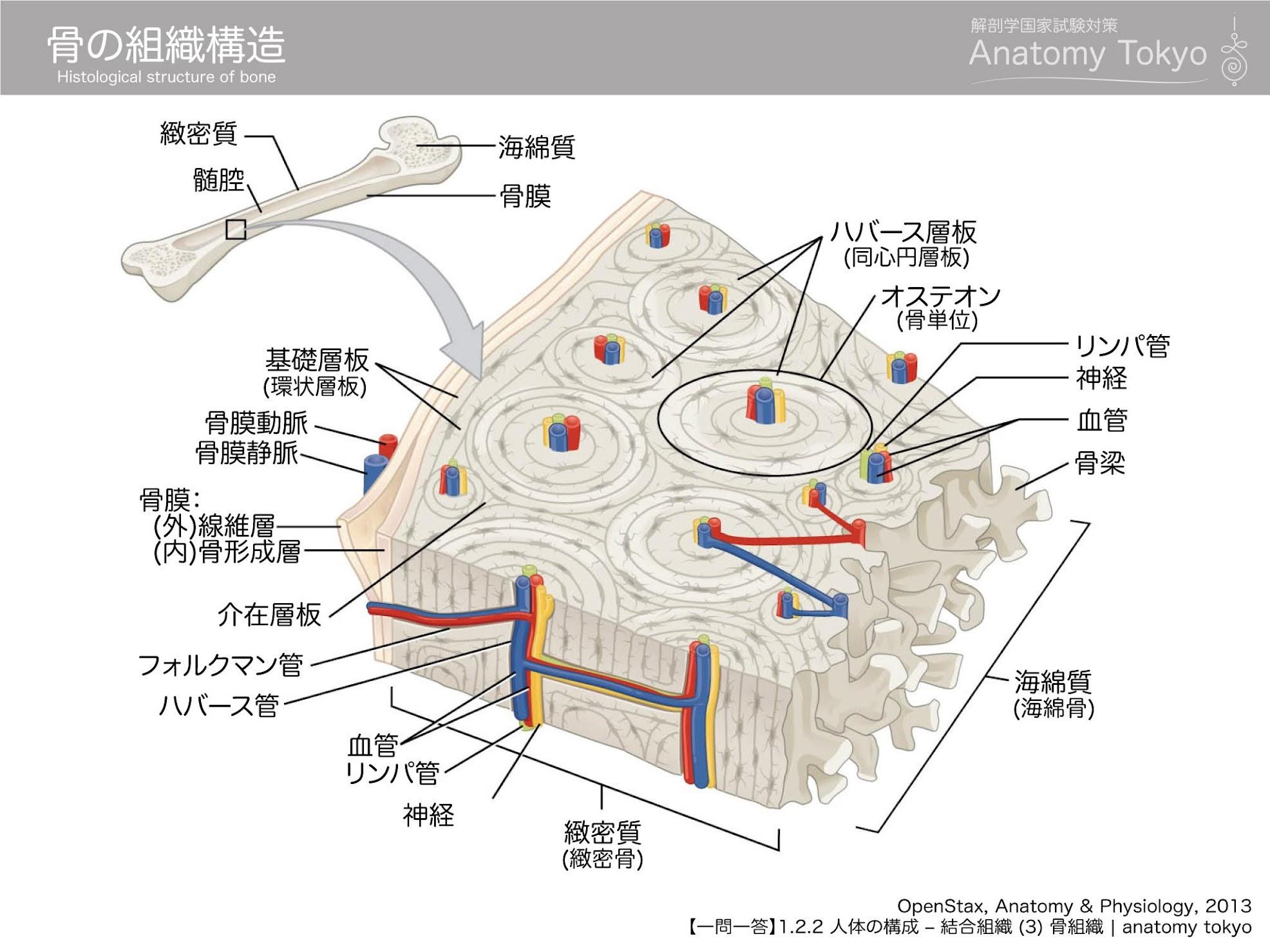 骨の組織構造