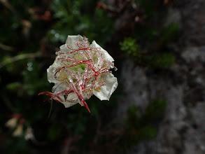 花を付けた状態のチングルマの実