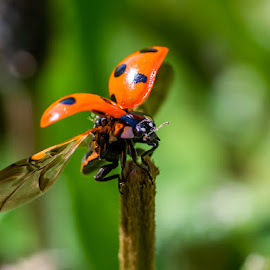 by Pavel Voitukovic - Uncategorized All Uncategorized ( macro, close up, ladybird, insect )