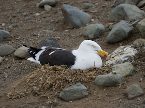 Photo: The island is shared by a few thousand nesting gulls