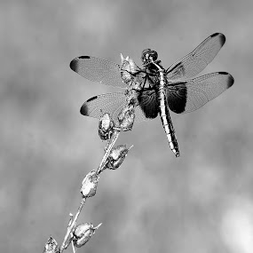 The Dragonfly by Ann Overhulse - Black & White Macro