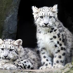 Baby Snowleopards by Chris Boulton - Animals Lions, Tigers & Big Cats ( pwcbabyanimals leopard snowleopard animal cats )